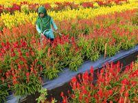 مزرعه پرورش گلهای رنگارنگ در اندونزی +عکس