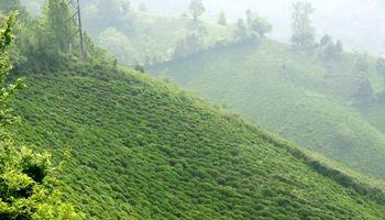 برداشت چای بهاره از مزارع لاهیجان +تصاویر