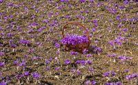 مزارع زعفران شناسنامهدار میشود