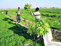 محصولات استراتژیک امنیت غذایی بیمه کشاورزی میشوند