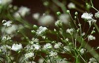 گیاهی معجزهگر برا کاهش تب