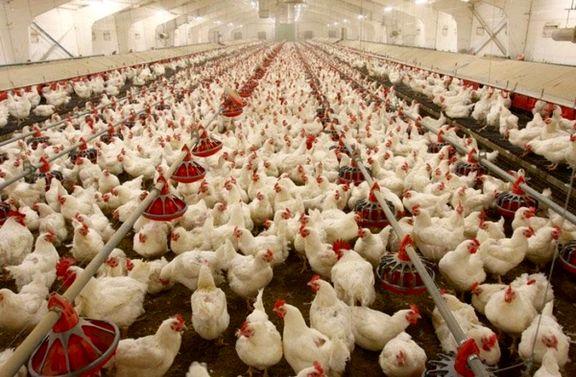 نقش شرکتهای کاغذی در افزایش قیمت نهادههای دامی!/ تولید مرغ گران تمام میشود