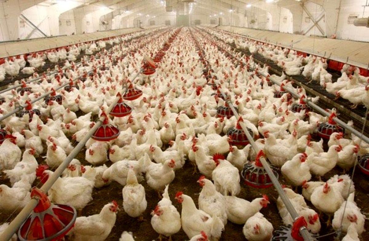 مرغ  کیلویی ۲۱هزارتومان شد