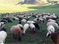 نیاز کشور به 400 هزار نفر گلهدار بزرگ برای تامین نیاز گوشت دام سبک
