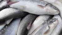 فروش آنلاین انواع ماهی در چهار استان کشور کلید خورد