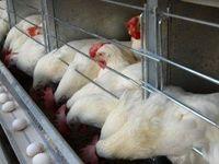 واردات گوشت مرغ از ایران به افغانستان ممنوع شد