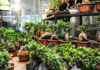 """قاچاق گل """"بونسای"""" و """"بامبو"""" با وجود ممنوعیت واردات"""
