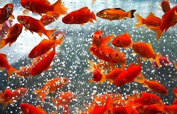 درآمد حداقل 200میلیارد تومانی ماهی قرمز در شب عید