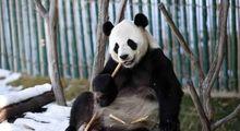 بازی جالب خرس پاندا در برف +تصاویر