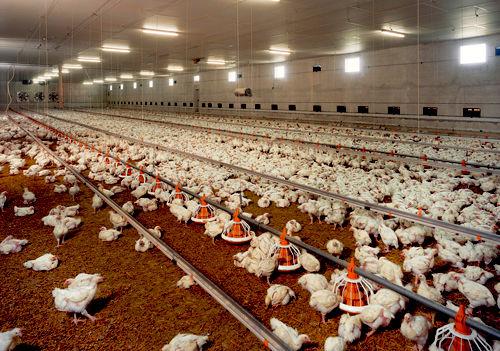 نامه مرغداران به رییس جمهور/ قیمت مرغ به 11هزار و 500تومان افزایش یابد