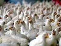 مرغ همچنان ارزان میشود