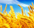 ٨.٨ میلیون تن؛ حجم خرید گندم از کشاورزان