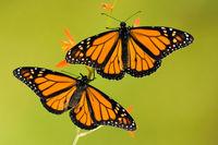 نگران طغیان پروانهها نباشید!