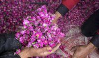 برداشت گل محمدی از مزارع مازندران +تصاویر
