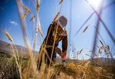 حمایت دولت از گندم کاران ضروری است