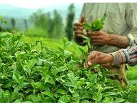 ۸۵درصد چای مصرفی در کشور وارداتی است
