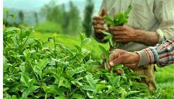 افزایش ۴ درصدی قیمت خرید تضمینی چای طی سال جاری