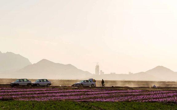 پیشبینی افزایش 50تنی تولید زعفران
