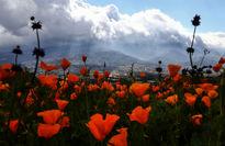 فرش نارنجی گلها +عکس