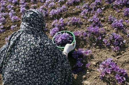 قاچاق پیاز زعفران ادامه دارد