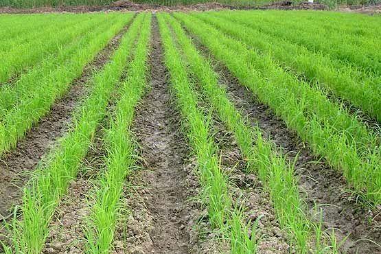 خشکه کاری برنج راهکاری مناسب برای مقابله با کم آبی