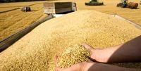 ۱.۵میلیون تن گندم خوراک دام خواهد شد
