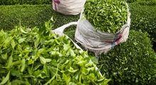 افزایش 3500تنی صادرات چای از کشور/ نرخ خرید چای ایرانی در بازار جهانی کاهش یافت