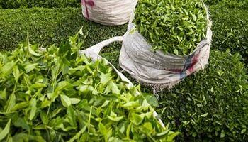 ۳۴کشور اروپایی و آسیایی مشتری مهم چای ایرانی