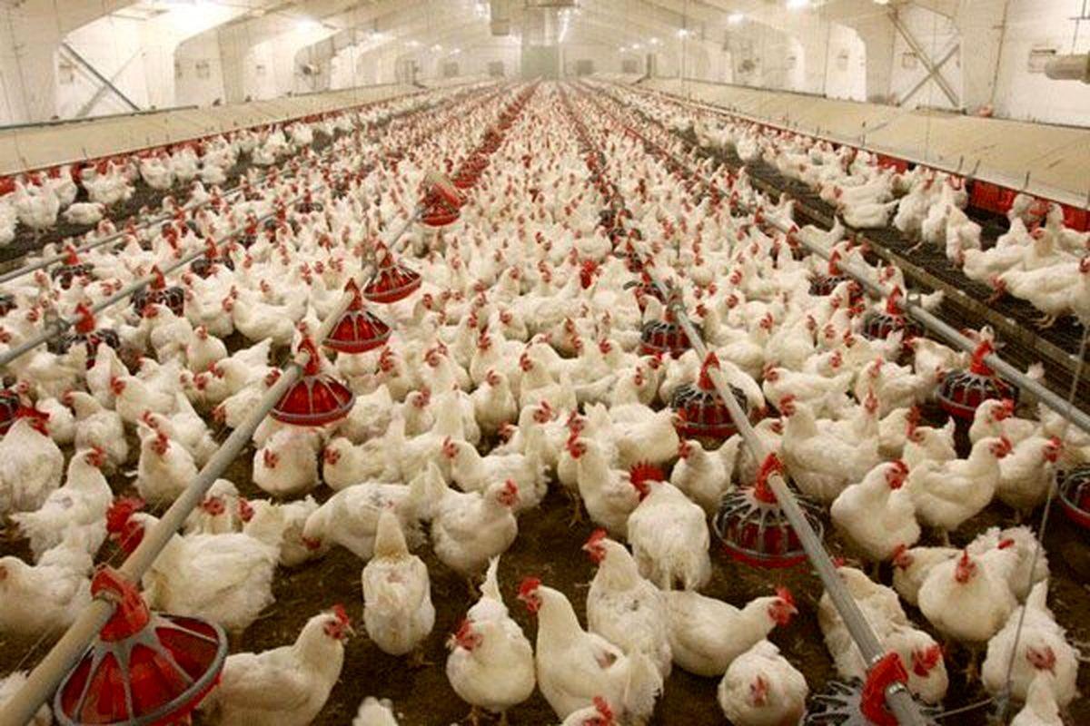 مرغها در واحدهای مرغداری گرسنه مانده اند