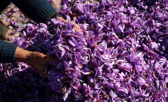 105000 ریال؛ قیمت خرید زعفران از کشاورزان
