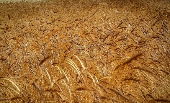 سیل اخیر یک میلیون تن گندم را از بین برد