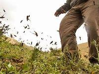 هجوم ملخها به آققلا در استان سیلزده گلستان