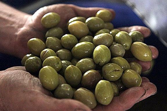 پیشبینی افزایش ۱۵درصدی تولید زیتون در کشور/ قاچاق، بازار زیتون داخلی را دچار رکود کرد