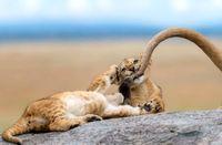 بازی توله شیر با دم مادرش در عکس روز نشنال جئوگرافیک