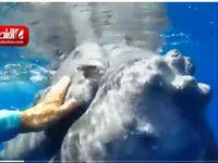 نهنگی که یک زیست شناس را از دام کوسه نجات داد +فیلم