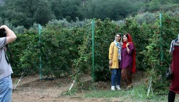 جشنواره برداشت تمشک در گرگان +تصاویر