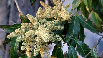 شکوفهدهی درختان انبه در هشت بندی هرمزگان +تصاویر