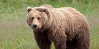 حمله خرس به چوپان بابلی