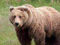کشف لاشه ۲قلاده خرس قهوهای +عکس