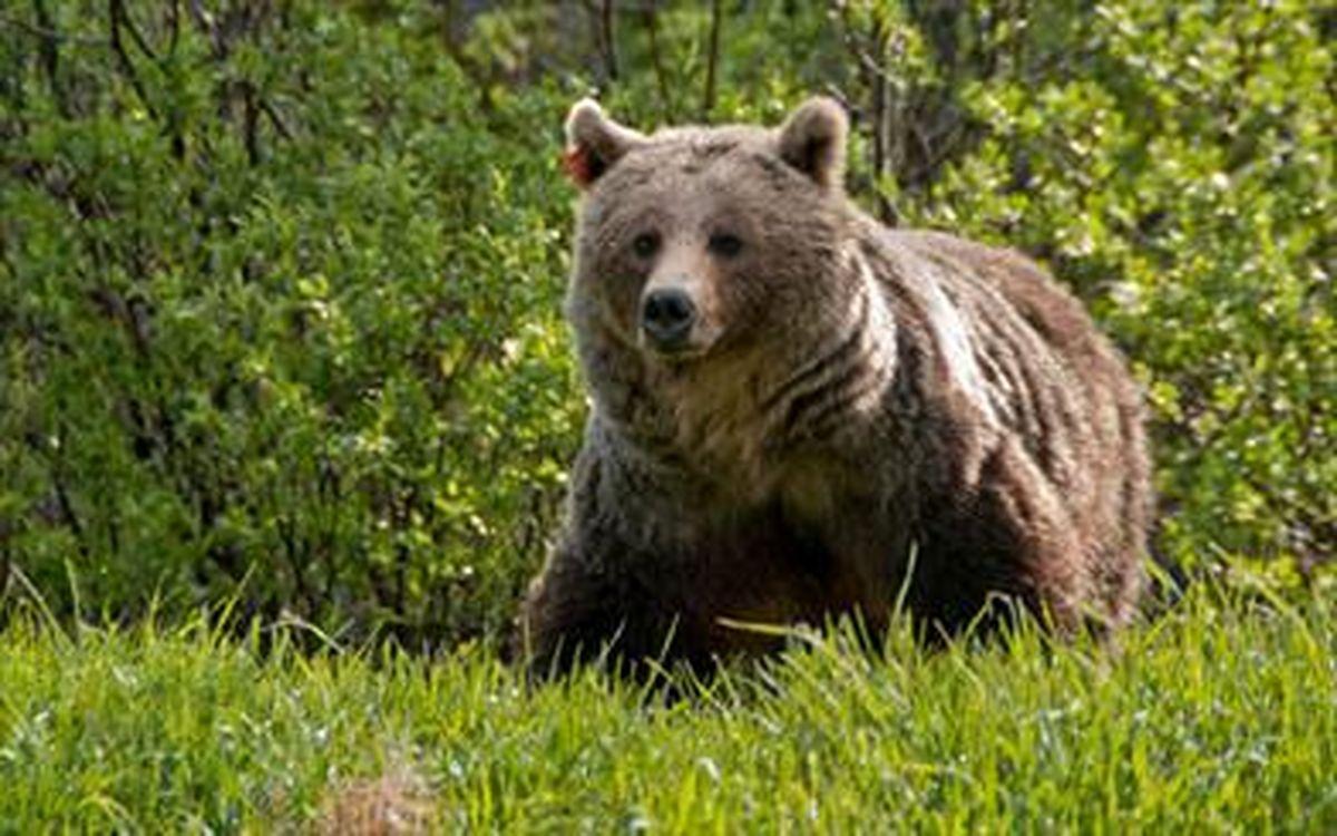 حمله خرس قهوه ای به یک دامدار