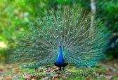 کسب و کار با زیبای افسانهای به نام طاووس