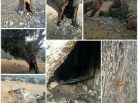 نابود کردن تدریجی درختان در نورآباد +عکس