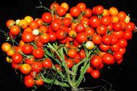 تولید گوجه فرنگی به شکل انگور! +عکس