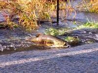 عبور ماهی از وسط خیابان +فیلم