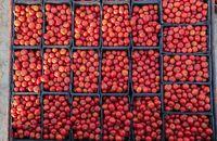 صادرات گوجه آزاد شد