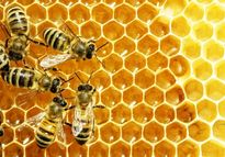 افزایش هفتبرابری سرمایه صندوق حمایت از توسعه زنبورداری