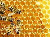هشدار نسبت به کاهش جمعیت زنبور عسل در پی خشکسالی