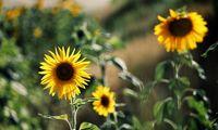 سفر به دشت آفتابگردانهای کالپوش +عکس