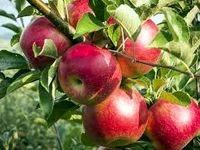 درخواست برای حذف یارانه صادراتی سیب +سند