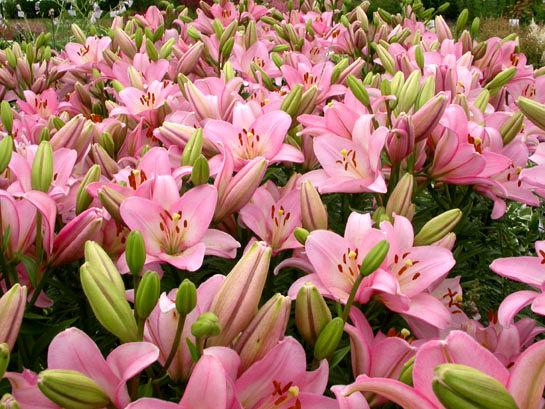 قیمت گل در ایران ۶برابر هلند!